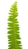 Zamyka w górę frond liścia paproci Fotografia Stock