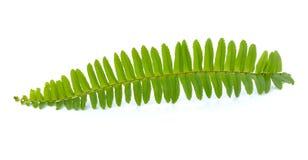 Zamyka w górę frond liścia paproci odizolowywającej Fotografia Stock