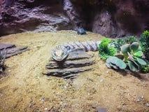 Zamyka w górę głowy Blotched Tongued jaszczurka (Tiliqua nigro Zdjęcia Royalty Free