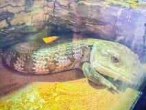 Zamyka w górę głowy Blotched Tongued jaszczurka (Tiliqua nigro Obraz Royalty Free