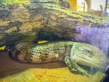Zamyka w górę głowy Blotched Tongued jaszczurka (Tiliqua nigro Obraz Stock