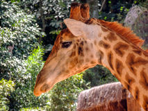 Zamyka w górę głowy, przyglądająca żyrafa Obrazy Stock