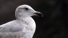 Zamyka w górę głowy seagull przeciw ciemnemu tłu zdjęcie wideo