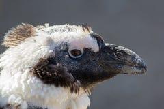 Zamyka w górę głowy zaniedbanego linienia pingwinu molting ptak Fotografia Stock