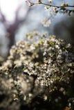 Zamyka w górę gałąź z białym małym światłem w tle i kwiatami zdjęcia stock