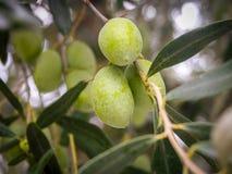 Zamyka w górę gałąź z oliwkami na drzewie oliwnym zdjęcia royalty free