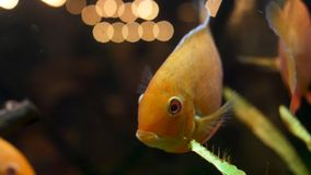Zamyka w górę goldfish w akwarium z zielonymi roślinami dla, zwierzęcia domowego pojęcie Rama Piękna złota ryba otwiera swój usta obrazy royalty free
