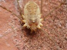 Zamyka w górę Harvestmen żniwiarza, ojczulek nogi długi pająk, fotografia nabierająca Zjednoczone Królestwo fotografia royalty free