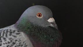 Zamyka w górę headshot samokierujący gołąb w domowym loft zbiory wideo