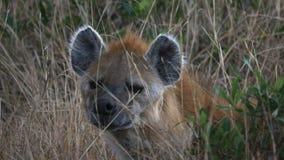 Zamyka w górę hieny w masai Mara gry rezerwie zbiory