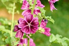 zamyka w górę Hollyhock Althaea rosea lub Alcea rosea, kwiat na zamazanym tle obraz royalty free