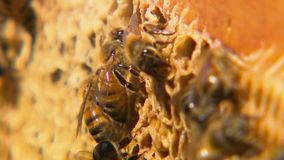 Zamyka w górę honeybees na ich honeycomb zbiory wideo