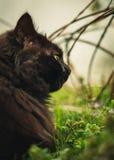 Zamyka w górę i stonowany portret tomcat Chantilly Tiffany kłaść i nuzzling wąchający trawy na zmierzchu - Ciemny czarny kot obraz royalty free