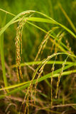 Zamyka w górę jaśminowego ryżowego irlandczyka Zdjęcia Royalty Free