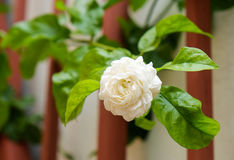 Zamyka w górę jaśminowych kwiatów Fotografia Royalty Free