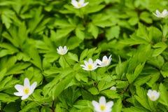 Zamyka w górę Japońskiego thimbleweed, anemonowy hupehensis kwiat w kwiacie fotografia stock