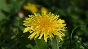 Zamyka w górę jeden żółtej dandelion kwiatu głowy zbiory
