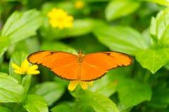 Zamyka w górę Julia motyla płomień lub flambeau Dryas iulia heliconian pomarańczowego Julia, zdjęcie stock
