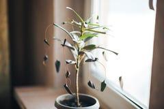 Zamyka w górę kędzierzawego zmroku - czerwień, czerni w domu, zieleni liście Croton rośliny Codiaeum variegatum matka i córka na  zdjęcia royalty free
