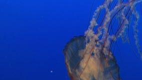 Zamyka w górę 4k widoku na dużego jadowitego jellyfish dopłynięcia wolny podwodnym w akwarium zbiory