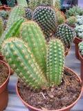 Zamyka w górę kaktusa w garnku Zieleń, susza, doniczkowy kaktusowy zasięrzutny widok przy kaktusa gospodarstwem rolnym zdjęcie royalty free