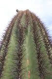 Zamyka w górę kaktusowych potrącenie kaktusów Obrazy Royalty Free