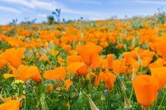 Zamyka w górę Kalifornia maczków Eschscholzia californica podczas szczytowego kwitnącego czasu, antylopy Kalifornia maczka Dolinn zdjęcie stock