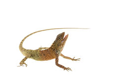 Zamyka w górę kameleonu odizolowywającego Zdjęcia Royalty Free