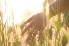 Zamyka w górę kobiety ręka dotyka kwiat trawy w polu fotografia stock