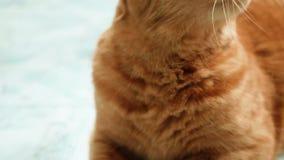 Zamyka w górę kota czesze Ja opuszcza uciekać proces Właściciel bierze opiekę jego zwierze domowy zbiory wideo