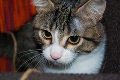 Zamyka w górę kota szczeniaka z brindle i bielu punktami zdjęcie royalty free