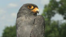 Zamyka w górę krótkopędu ptasi pospolity kestrel - Falco tinnunculus zbiory