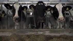 Zamyka w górę krów karmi w wielkim cowshed przy gospodarstwem rolnym dla footage Krów bydło karmi proces przy doją gospodarstwo r fotografia royalty free