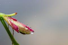 Zamyka w górę kropli woda i menchie kwitną Obrazy Royalty Free