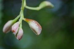 Zamyka w górę kropli woda i różowi kwiatu pączek Obrazy Royalty Free