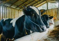 Zamyka w górę krowy głowy w klatce zdjęcia royalty free
