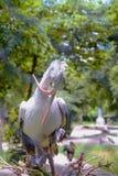 Zamyka w górę Krzyżującego mysz Wystawiającego rachunek pelikana w pyłu zoo Zdjęcia Royalty Free