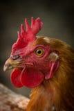 Zamyka w górę kurczaka Fotografia Stock