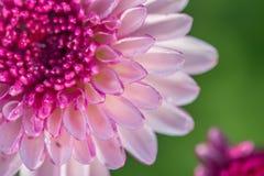 zamyka w górę kwiat menchii abstrakta tła Zdjęcia Stock