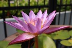 Zamyka w górę kwiat purpur lotosu obraz royalty free