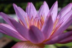 Zamyka w górę kwiat purpur lotosu zdjęcie royalty free