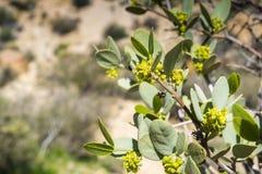 Zamyka w górę kwiatonośnego Jojoba Simmondsia chinensis gałąź, Joshua drzewa park narodowy, Kalifornia obraz stock