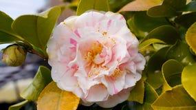 Zamyka w górę Kwiatonośnej rośliny kamelii Obrazy Stock