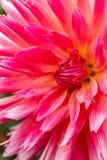 zamyka w górę kwiatu z różowymi i białymi płatkami obraz royalty free