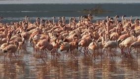 Zamyka w górę lesser flamingów maszeruje na brzeg jeziorny bogoria w Kenya zbiory wideo