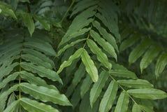 Zamyka w górę liści Pterocarya fraxinifolia drzewo obraz stock