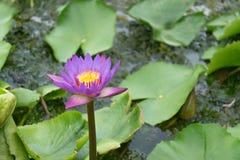 Zamyka w górę lotosowego kwiatu i lotosowego kwiatu rośliien Obraz Stock