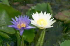 Zamyka w górę lotosowego kwiatu i lotosowego kwiatu rośliien Zdjęcie Royalty Free