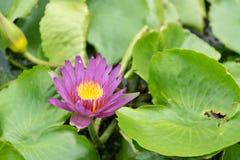Zamyka w górę lotosowego kwiatu i lotosowego kwiatu rośliien Obraz Royalty Free