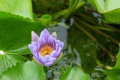 Zamyka w górę lotosowego kwiatu i lotosowego kwiatu rośliien Obrazy Stock